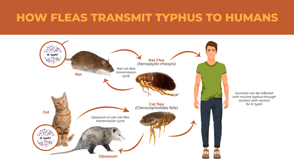 How To Get Rid Of Fleas And Prevent Typhus Disease Lloyd