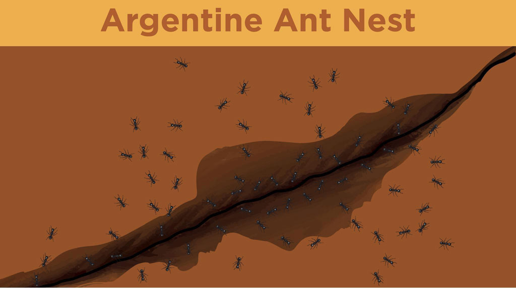 Illustration of Argentine ants crawling in and out of a nest in the ground.