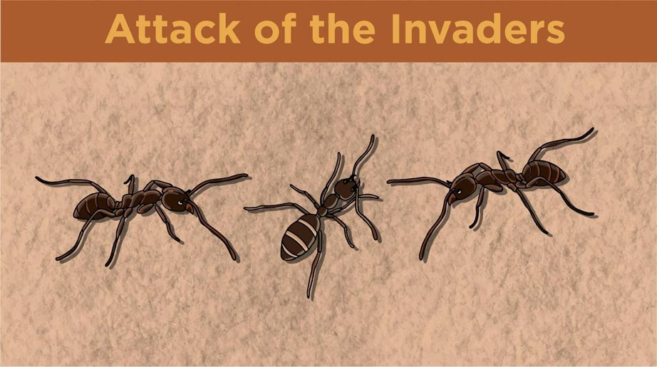 Illustration of two Argentine ants attacking another ant.