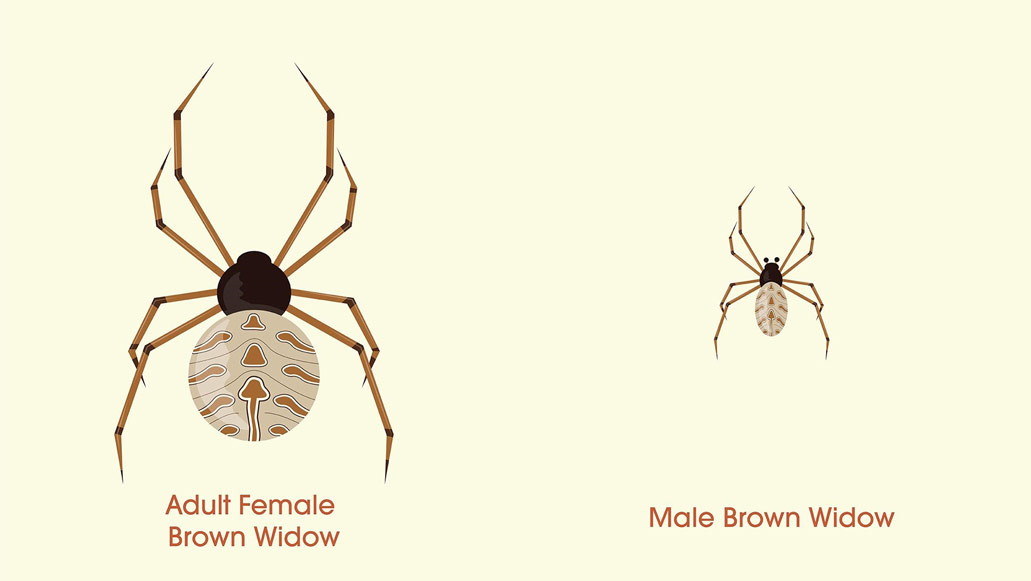 Illustration of a female and male brown widow.