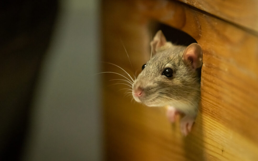 How to Protect Your Home Against Rats, Mice, and Other Rodents This Winter