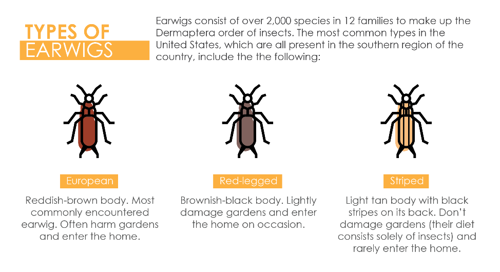 Earwigs consists of over 2,000 species in 12 families to make up the Dermaptera order of insects. The most common types in the United States, which are all present in the southern region of the country, are the European, red-legged, and striped earwigs.