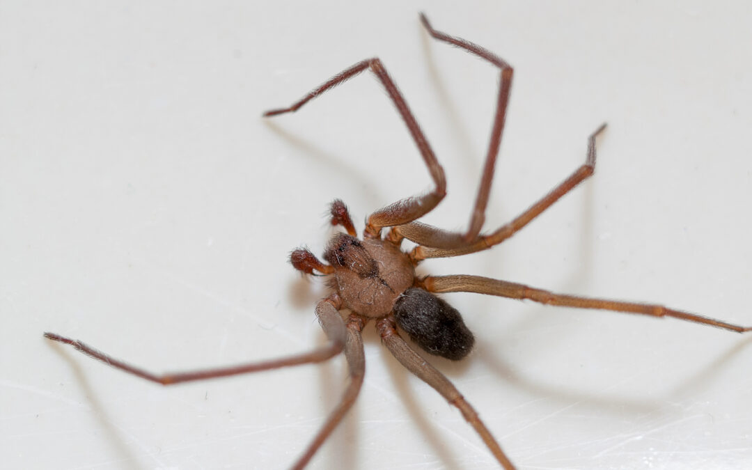 Are There Brown Recluse Spiders in Southern California?