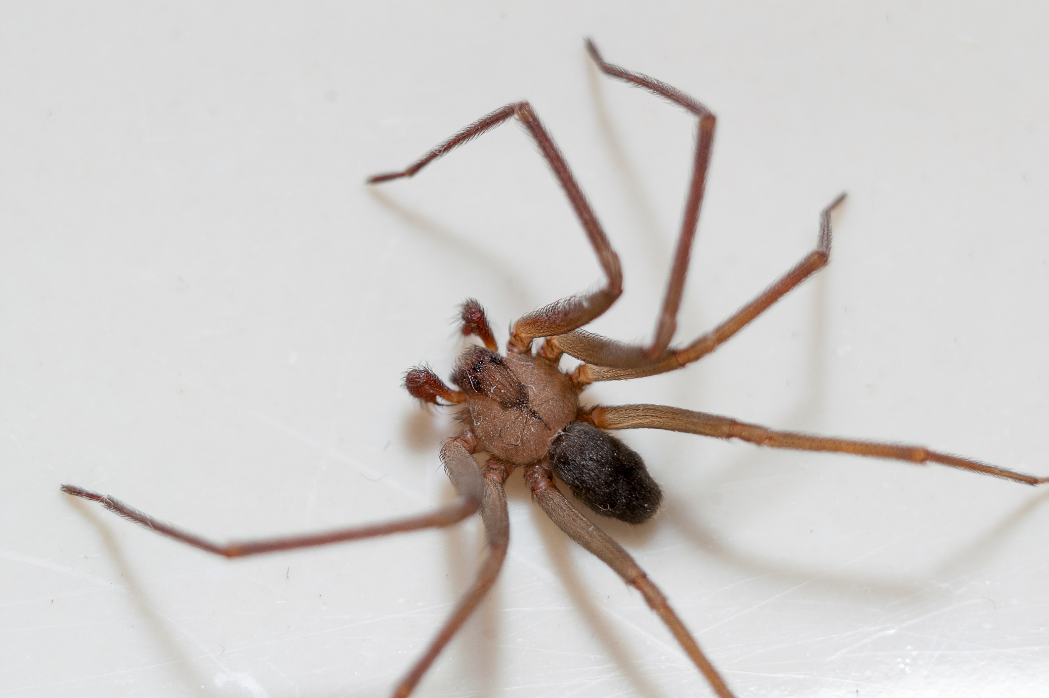 Are There Brown Recluse Spiders In Southern California Lloyd