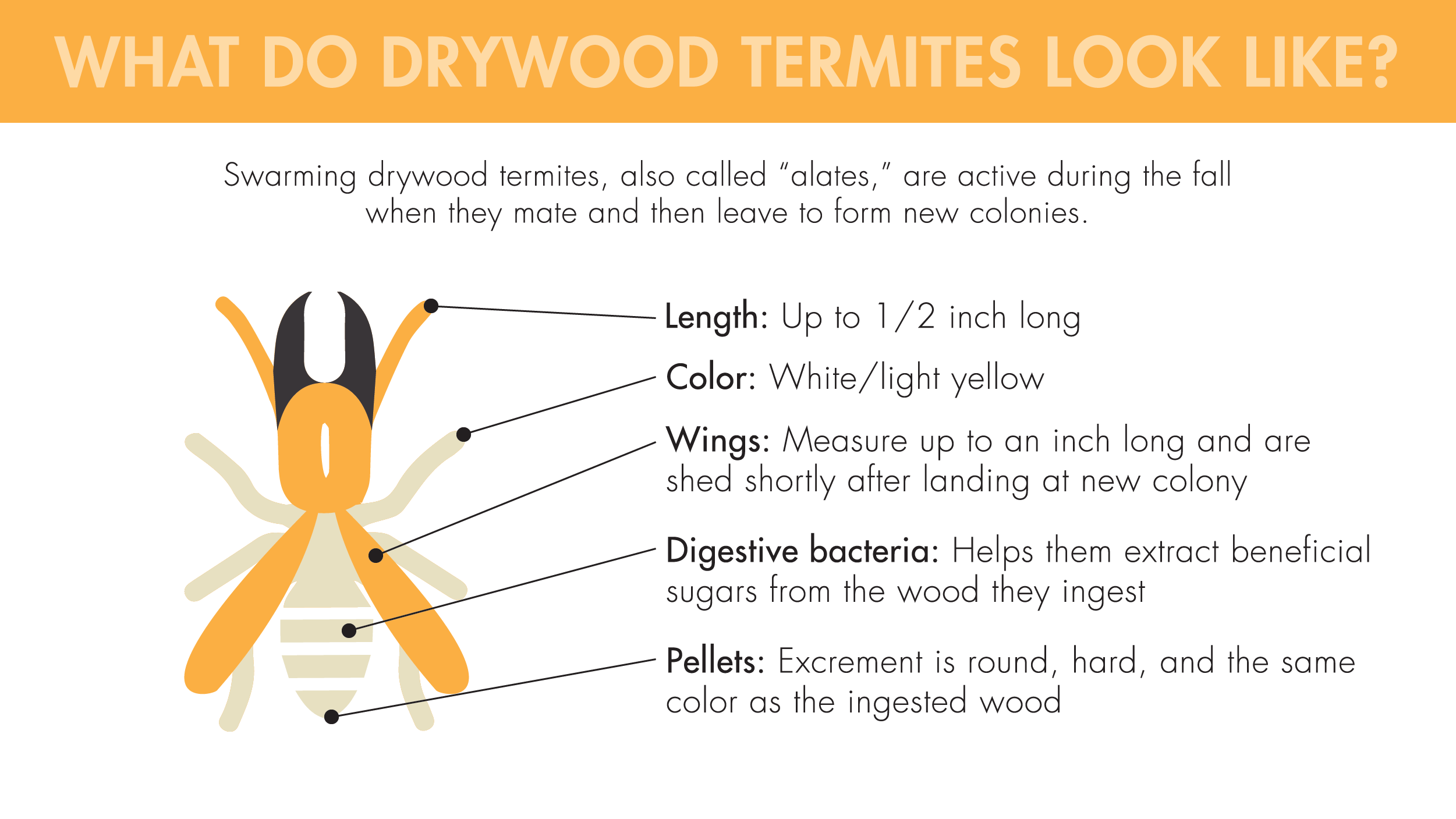 """Swarming drywood termites, also called """"alates,"""" are active during the fall when they mate and then leave to form new colonies. They're up to 1/2-inch long, are a white/light yellow color, have wings that shed shortly after landing at a new colony, extract beneficial sugars from the wood they ingest with digestive bacteria, and excrete round, hard, wood-colored pellets."""