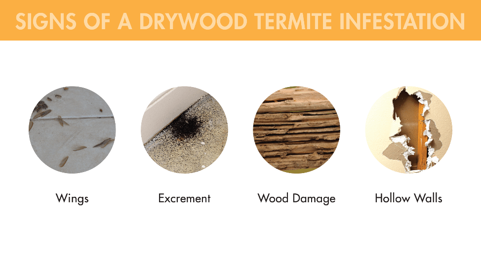 Wings, excrement, wood damage, and hollow walls are all signs of a drywood termite infestation.