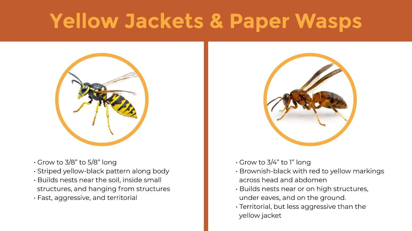 Yellow jackets and paper wasps diagram.