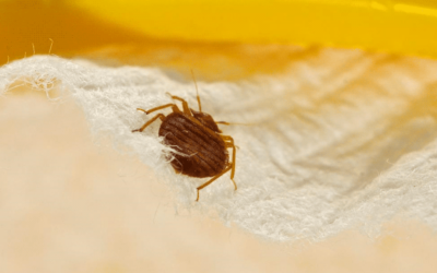How Do You Kill Bed Bugs?