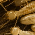 Termites cleaning eachother